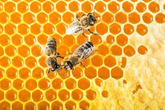 Bees on honeycombs. Bees prepare honey Royalty Free Stock Images