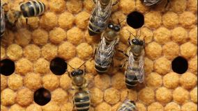 Bees on honeycombs stock footage