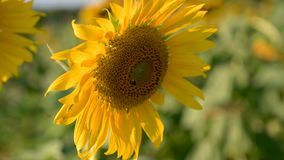 The bees and insects are swarming the yellow sunflower in the evening with golden light. VDO 4K