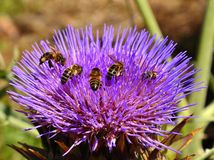 Bees inside artichoke flower. Artichoke flower and insects collecting Stock Photography