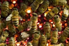 Bees inside  beehive. A group of Bees inside a beehive Stock Photography