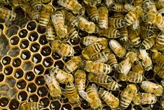 Bees inside  beehive Royalty Free Stock Photography