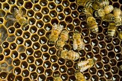 Bees inside  beehive. A group of Bees inside a beehive Royalty Free Stock Images