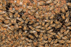 Bees inside beehive macro close up Royalty Free Stock Photo