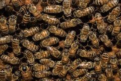 Bees inside beehive macro close up Royalty Free Stock Photo