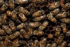Bees inside beehive macro close up Stock Photos
