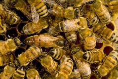 Bees inside beehive with the q. Bees inside a beehive with the queen bee in the middle Stock Photos