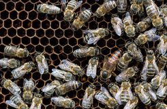 Bees inside a beehive with the queen bee in the middle. Bees inside a beehive with the queen bee in the middle Royalty Free Stock Image