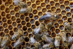 Bees inside a beehive with the queen bee in the middle. Bees inside a beehive with the queen bee in the middle Royalty Free Stock Images