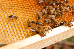 Bees inside a beehive with the queen bee in the middle. Busy bees, close up view of the working bees on honeycomb. Close up showing some animals with the queen Royalty Free Stock Photos