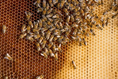 Bees inside a beehive with the queen bee in the middle. Busy bees, close up view of the working bees on honeycomb. Bees close up showing some animals with the Royalty Free Stock Photos