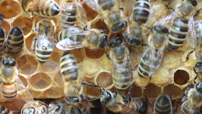 Bees inside hive Royalty Free Stock Image