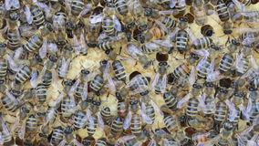 Bees inside hive Royalty Free Stock Photo