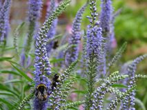 Bees in Lavender Bush. Buzzing bees on purple blooming lavender bush zoomed in to focus on specific stems royalty free stock image