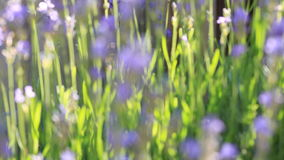 Bees on lavender flower; zoom in stock video
