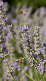 Bees and Lavender Royalty Free Stock Image