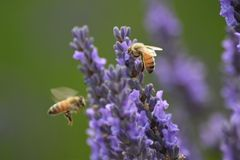 Bees and lavender plant. Two bees in motion, hovering and busy at work beside a lavender plant stock images