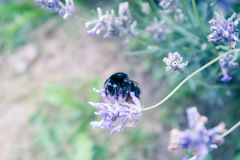 Bees on lavender plants royalty free stock images