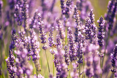 Bees in lavender, summer, Valensole, France Stock Image