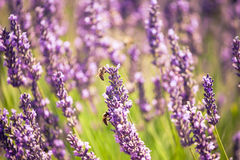 Bees in lavender, summer, Valensole, France. Two bees in lavender closeup Royalty Free Stock Photography