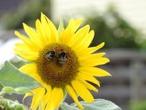 Bees like wasps foraging in love sunflowers. Two gûepes buttinent a sunflower large open in the sun Stock Image
