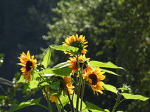 Bees like wasps foraging in love sunflowers. Royalty Free Stock Photography