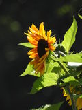 Bees like wasps foraging in love sunflowers. Stock Photos