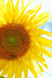 Bees living on the sun. Sunflower on the background of skies Stock Images