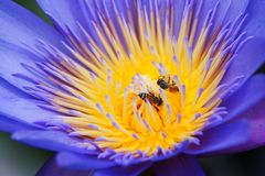 Bees & Lotus Flower. Bees in the beautiful purple lotus flower Royalty Free Stock Images
