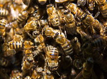 Bees. Many bees in one place, working on the production of honey Royalty Free Stock Photography