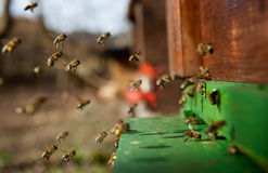 Bees. Moving into a beehive Stock Photo