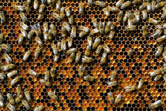 Free Bees Natural Beebread In Honeycombs Ambrosia Apitherapy Nutritional. Stock Photos - 92363933