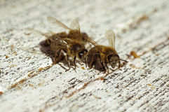 Bees near a beehive Stock Photography