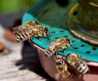 Bees near drinking water_4 royalty free stock photography