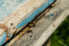 Bees near the hive. Bee guards sit at the entrance to the hive Royalty Free Stock Photos