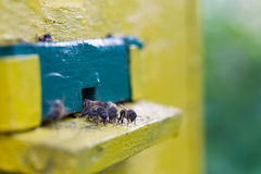 Bees. Near the hive, closeup Royalty Free Stock Photo