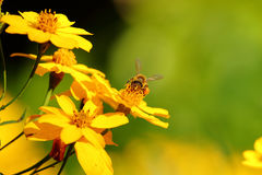 Bees with a nectar bag. Honeybees with nectar bag on yellow flower stock photos
