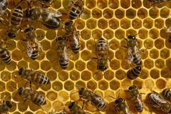 Bees, nectar and larvae Royalty Free Stock Photos