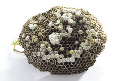 bees nest Stock Image