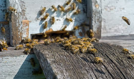 Bees On Hive 20 Royalty Free Stock Photos
