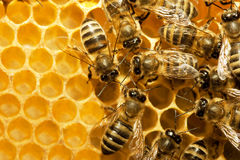 Free Bees On Honeycells Royalty Free Stock Photo - 9945165