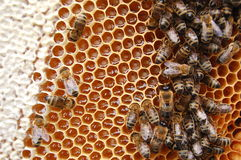 Free Bees On Honeycomb Stock Image - 14795461