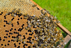 Bees On Honeycomb 2 Royalty Free Stock Photos