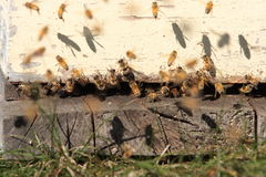 Free Bees On The Hive Stock Photography - 13698072