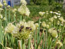 Bees and onion blooms. Picture of bees on onion bloom stock images