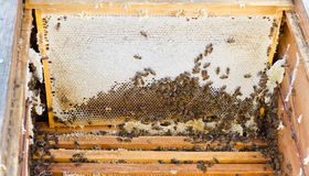 Bees in open beehive Royalty Free Stock Photography