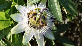 Bees on passion fruit flower stock video footage