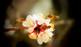 Bees on peach blossoms. Honey bees pollinate blossoms of peach and collecting nectar Royalty Free Stock Photography