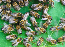 Bees on a piece of vine Royalty Free Stock Photo