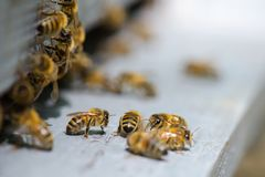 Bees on the platform. Bee royalty free stock image